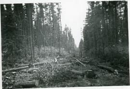 Many cut trees forming a long clearing