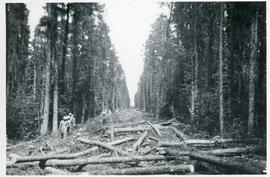 A long wide path of cut trees in a forest