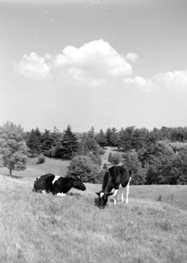 Holsteins in shade of trees at Three Bridges, Ontario