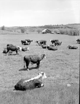 Hereford herd in field on Wallace Barbour's farm