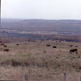 Cattle on the hillside in the fall, near Stayner, Ontario