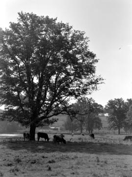 Cows under tree in field near Hawkesville beside Conestogo River