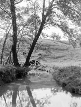 Cattle by the water under trees, in Port Dover,