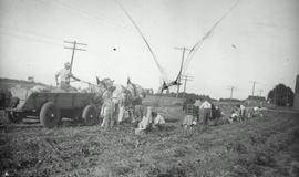 Crusader group harvesting potatoes