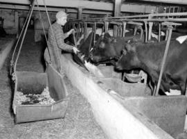 George Weber feeding cattle in Waterloo County, Ontario