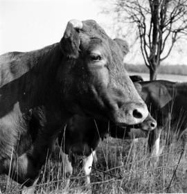 Wilbert Brubacher's Guernsey cow. In Waterloo County, Ontario