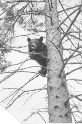 A bear caught by Alternative Service workers