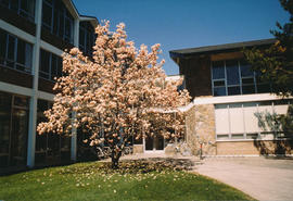 A magnolia tree in bloom outside Conrad Grebel