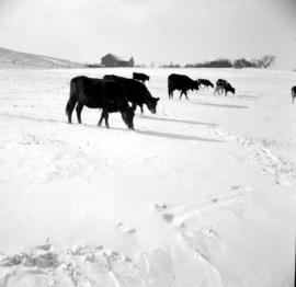 Cattle in the snow, south of Wellesley, Ontario