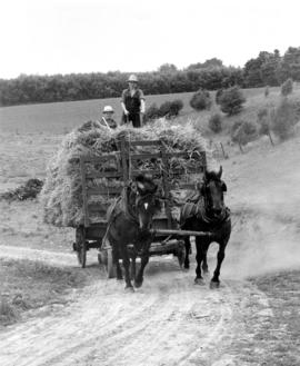 Old Order Mennonite boys bringing in sheaves of