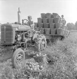 Harvesting tomatoes on the farm of P. Warkentin