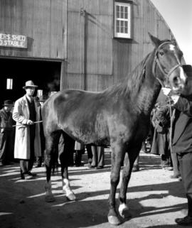 Ed Geisel auctioning off horse at November 1948