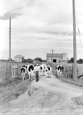 Cattle walking up the lane at Dan Cressman's farm