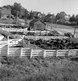 The cattle at the Waterloo County Stock Yards in Elmira, Ontario