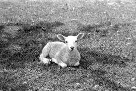 A lamb in field in Morriston, Ontario