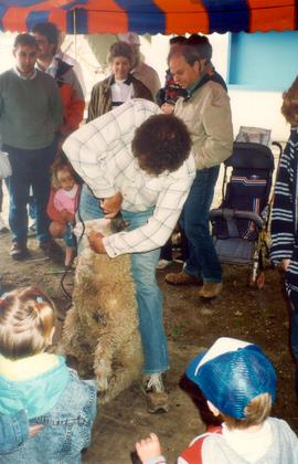 Sheep shearing at the New Hamburg Fall Fair in
