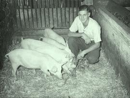 Raising pigs for Crusader program