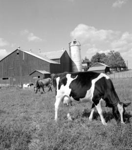 Holstein cattle on Stanley Schmidt's farm