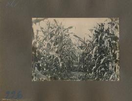 Waldheim: David Peters in a field of corn and watermelons