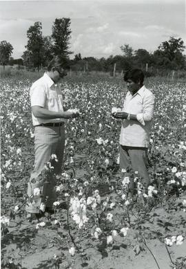 Examining a cotton crop in Paraguay