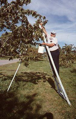 Martin picking cherries