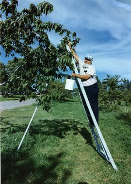 Martin Cross picking cherries