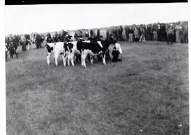 Cows at a fair