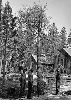 Three unidentified men felling pine tree at Civilian Public Service Camp #31