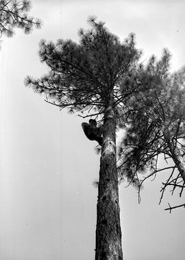 Unidentified person climing a pine tree at Civilian Public Service Camp #31
