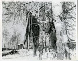 Snowshoes and fur at trapper cabin